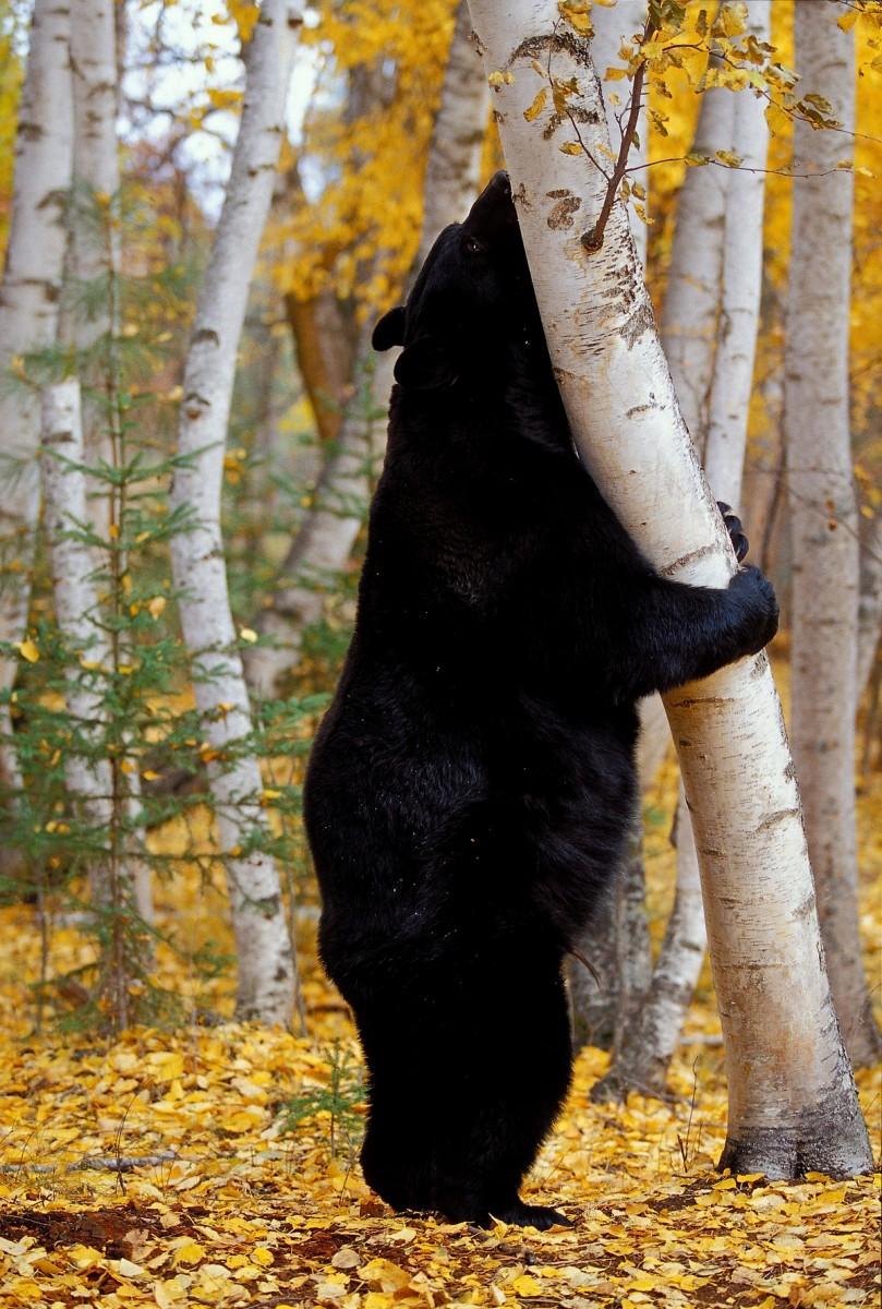 Black bear habitat